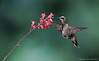 Female Black Chinned Hummingbird
