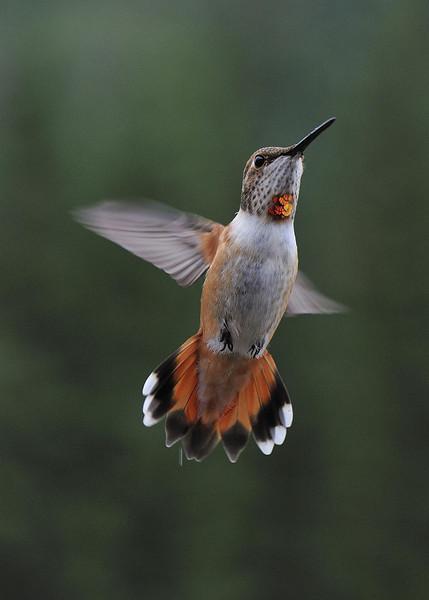 Hummingbird on the Mineral Creek near Silverton Colorado.
