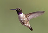 Black-chinned Hummingbird.