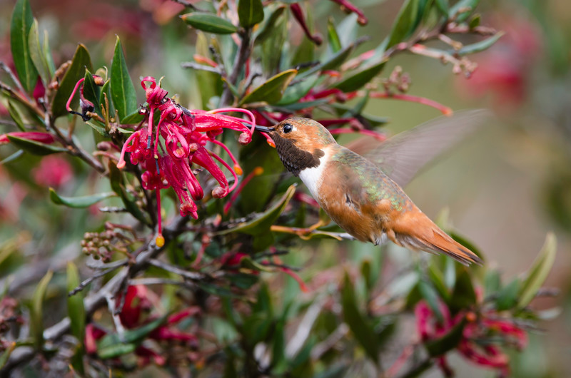 Allen's Hummingbird feeding on Grevillea flowers