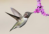 Hummingbird feeding on Mexican Sage