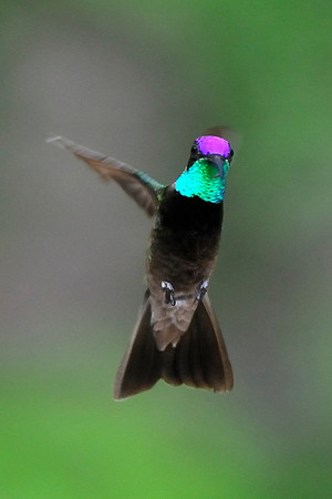 Male Magnificent Hummingbird  Eugenes fulgens , Ramsey Canyon AZ
