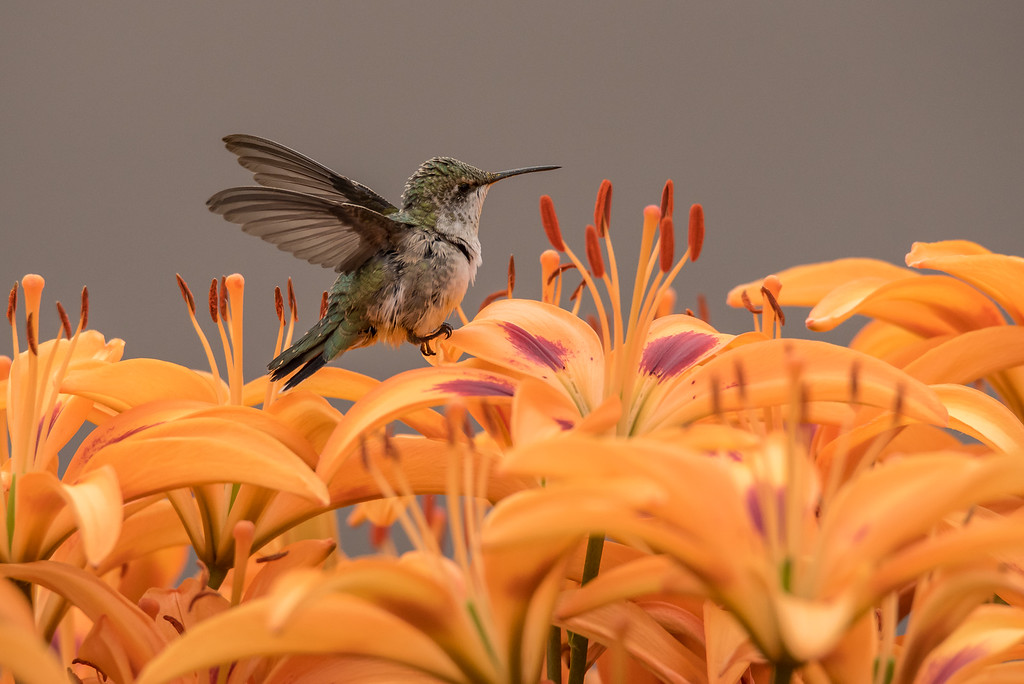 "HUMMINGBIRDS 7964<br /> <br /> ""Hummingbird in the Lily Garden""<br /> <br /> Grand Portage, MN"