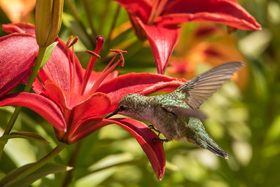 "HUMMINGBIRDS 8217  ""Hummingbird in the Lily Garden""  Grand Portage, MN"