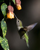 Hummingbird at an Abutilon flower