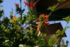 Hummingbird_Playing_267