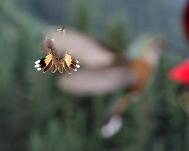 In the holding pattern for the feeder, hummingbirds near Silverton Colorado.