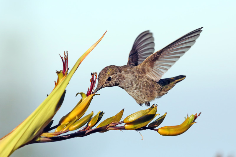 Hummingbird on New Zealand Flax