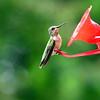 Hummingbirds Aug 2013 (25)-001