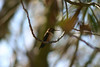 Hummingbird_Playing_316