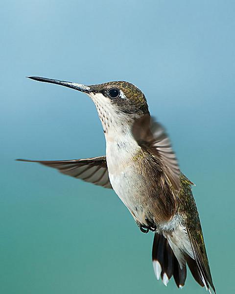 Hummingbirds-DSC_4093