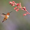 Adult Male Rufous Hummingbird feeding on Red Yucca