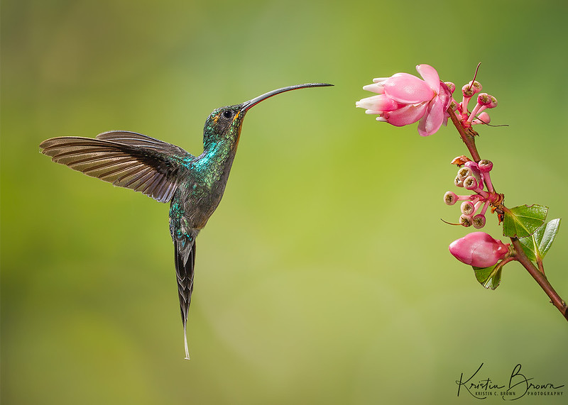Green-tailed Hermit at native flower