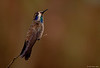 Brown Violet Ear HummingBird