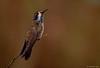 Brown Violet Ear HummingBird