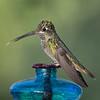 Magnificant Hummingbird