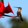 Hummingbirds Aug 2013 (12)-001