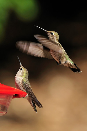 """This seat is taken""  Anna's hummingbirds, Calypte anna, Ramsey Canyon AZ"