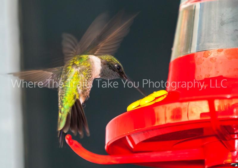48  Hummingbird Feeding