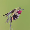 Broad-tailed Hummingbird,male displaying.