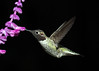 Hummingbird feeding on Mexican Sage