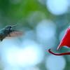 Hummingbirds Aug 2013 (1)