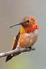 Rufous hummingbird-male