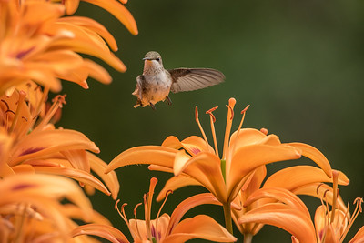 "HUMMINGBIRDS 8175  ""Hummingbird in the Lily Garden""  Grand Portage, MN"