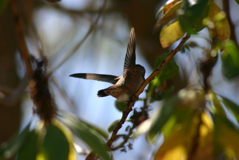 Hummingbird_Playing_329