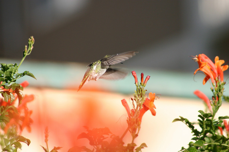 Hummingbird_Playing_284