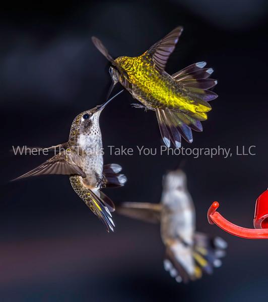 Dueling Birdies