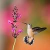 Broad-tailed hummingbird,female feeding.