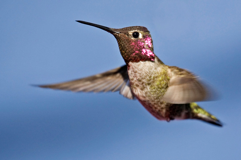 Hummingbird in my backyard