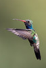 Broad-billed Hummingbird.