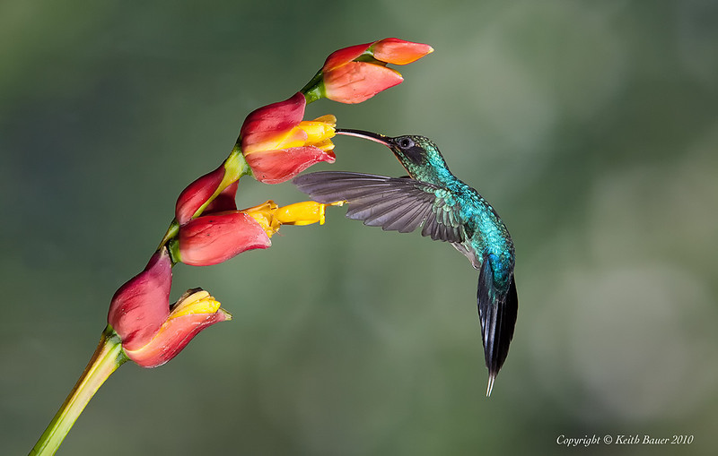 Flower Hummingbirds Attracted Hummingbird on a Flower