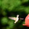 Hummingbird Sep 2013 (5)-001