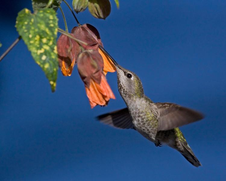 Hummingbird with Abutilon flower