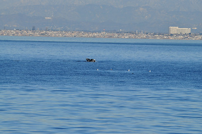 Humpback Whale and Hollywood sign