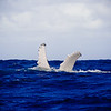 Humpback Whales of the Silver Banks 2014