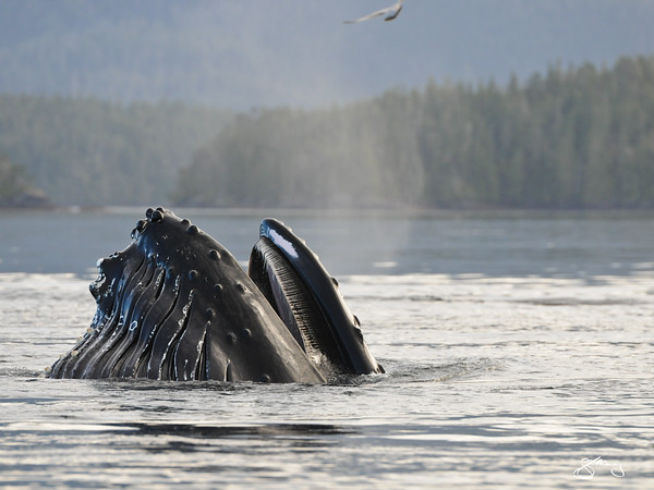 """© 2012 Jackie Hildering-1354 - """"Conger"""" BCY0728 lunge feeding."""