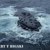 humpbacks- blew bubbles?