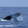 humpbacks-2