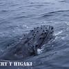 humpbacks- head