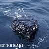 humpbacks- that is his(her) head