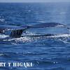 humpbacks-3