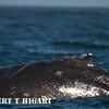 humpbacks-45