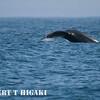 humpbacks-20