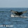 humpbacks-32