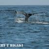 humpbacks-31
