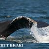 humpbacks-47
